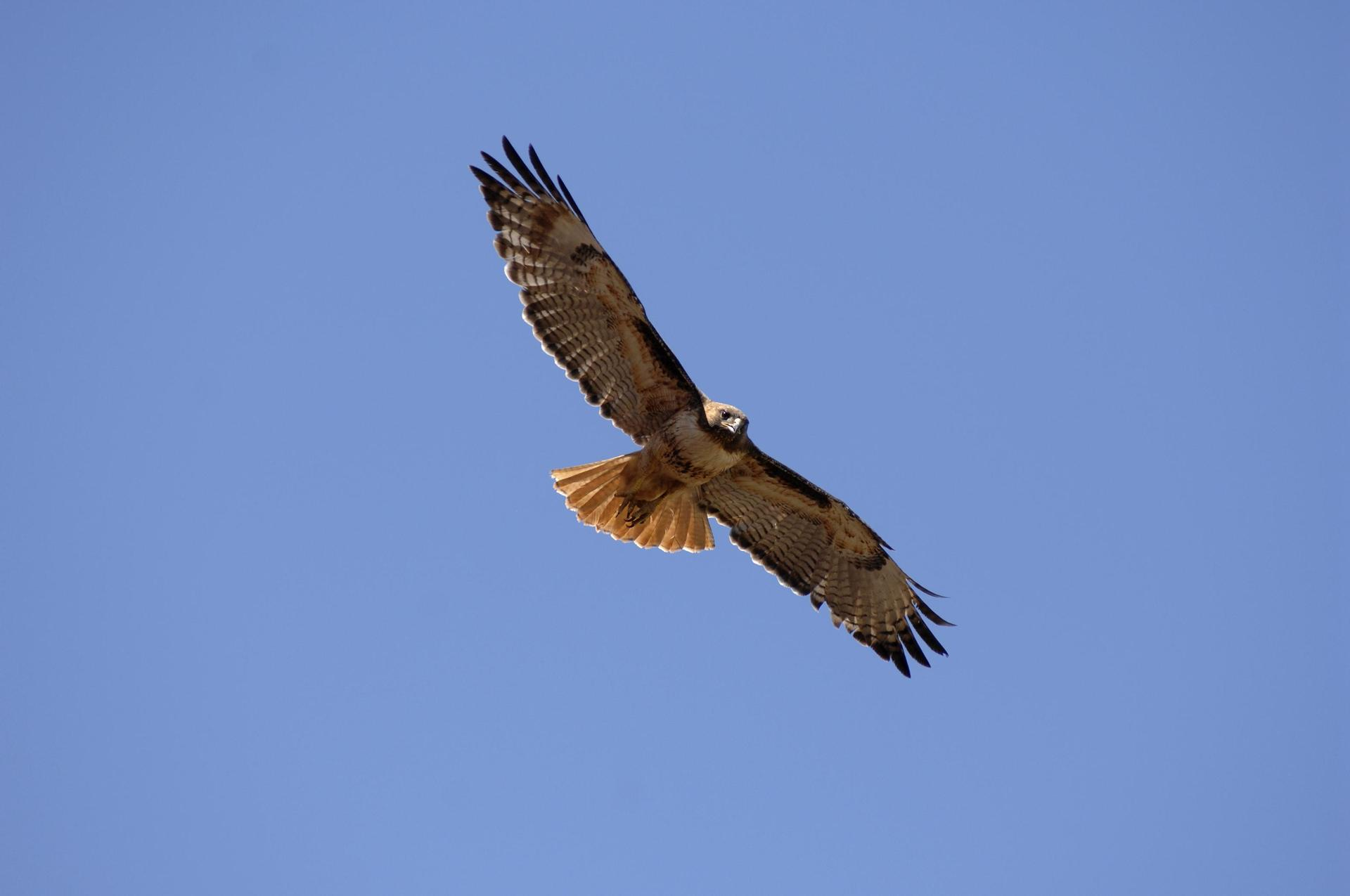 Red Tailed Hawk soaring high