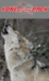 picture of wolf howling