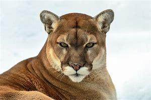cougar 2.jpg