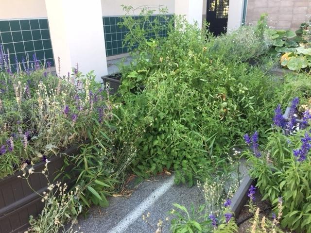 Ramblewood Garden - tomatoes gone wild!