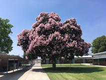 Our big pink tree!