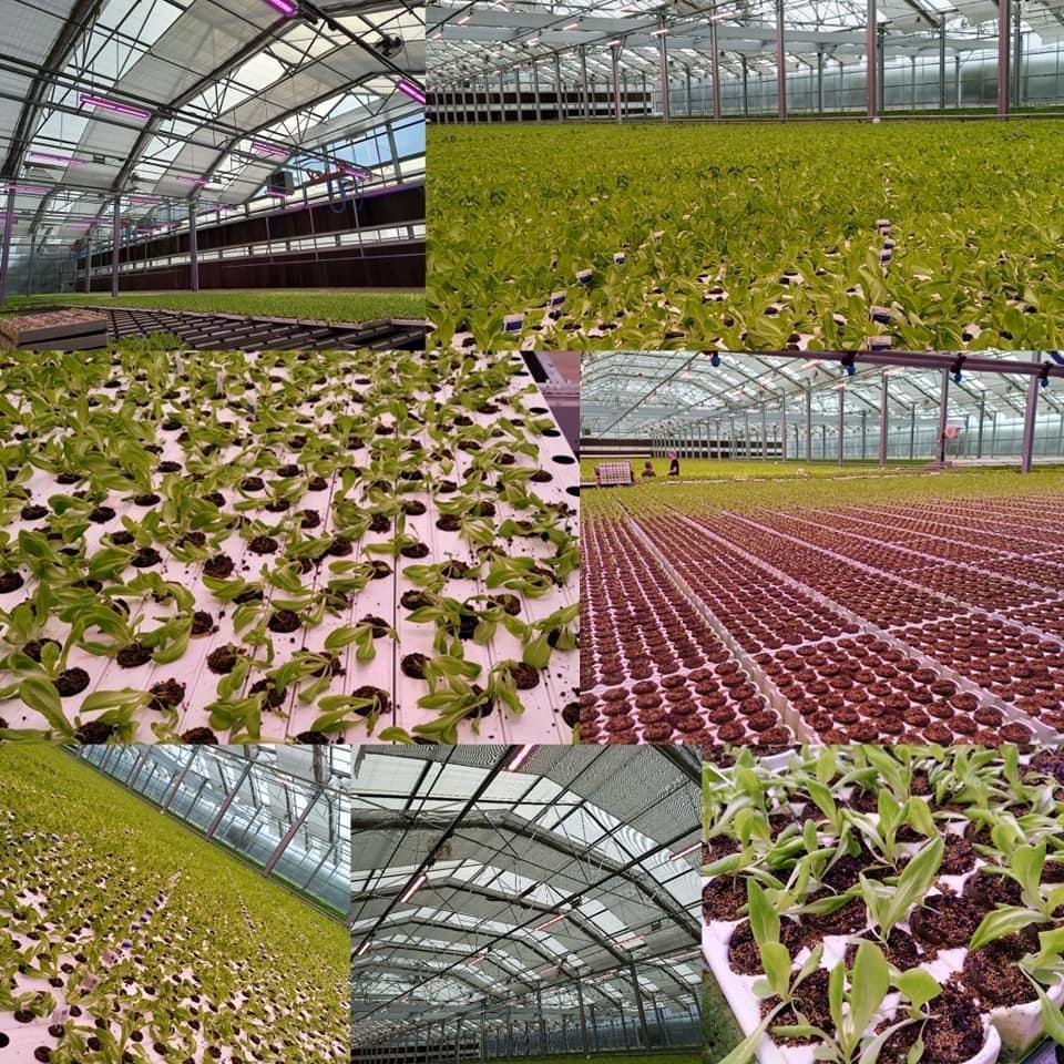 ACE 3 Lettuce farm