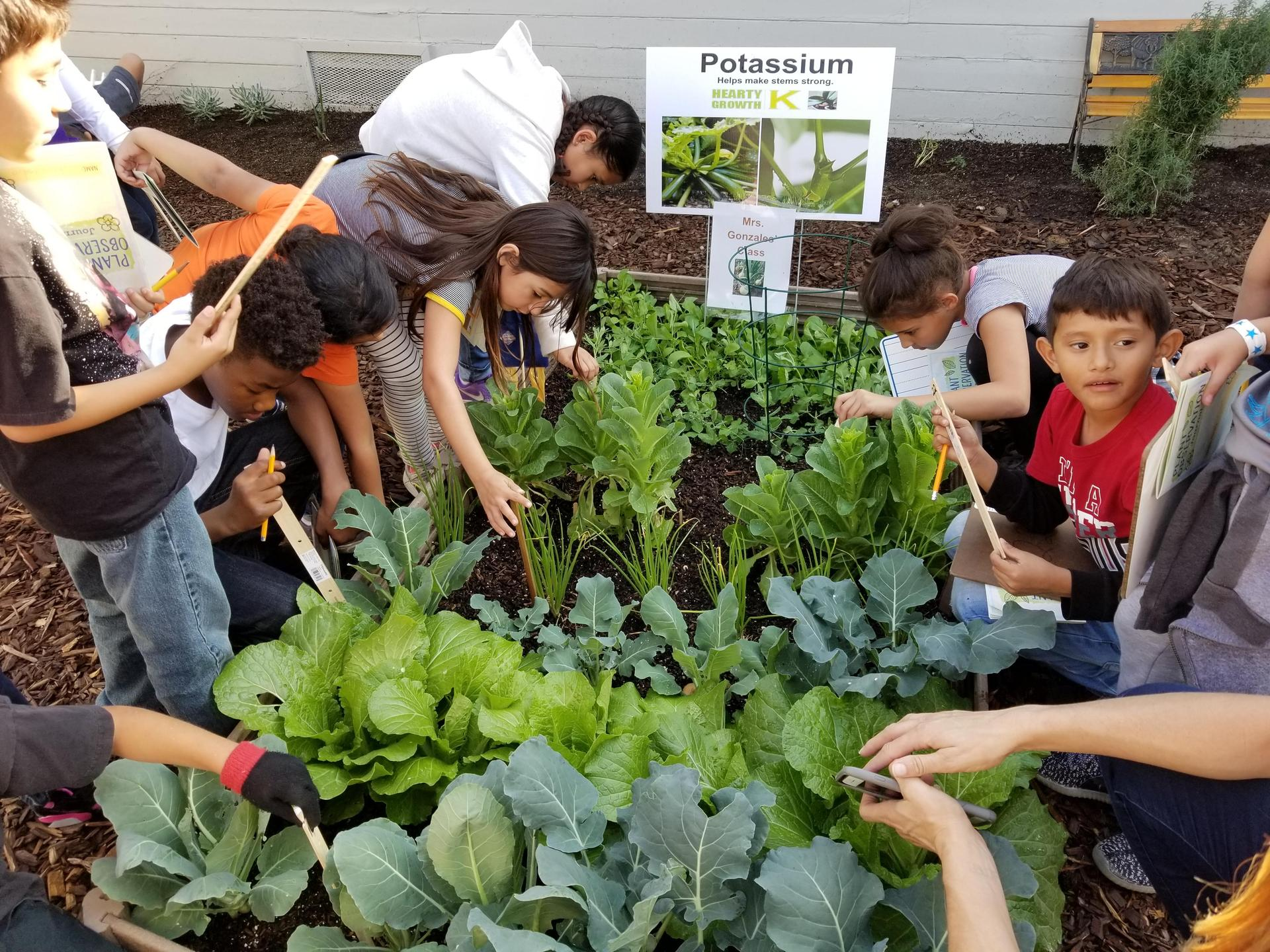 Measuring the vegetables and recording the growth