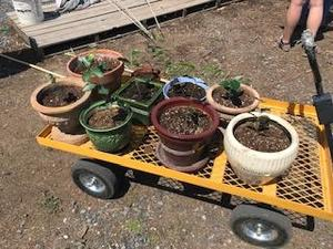wheelbarrow with plant containers with plants inside