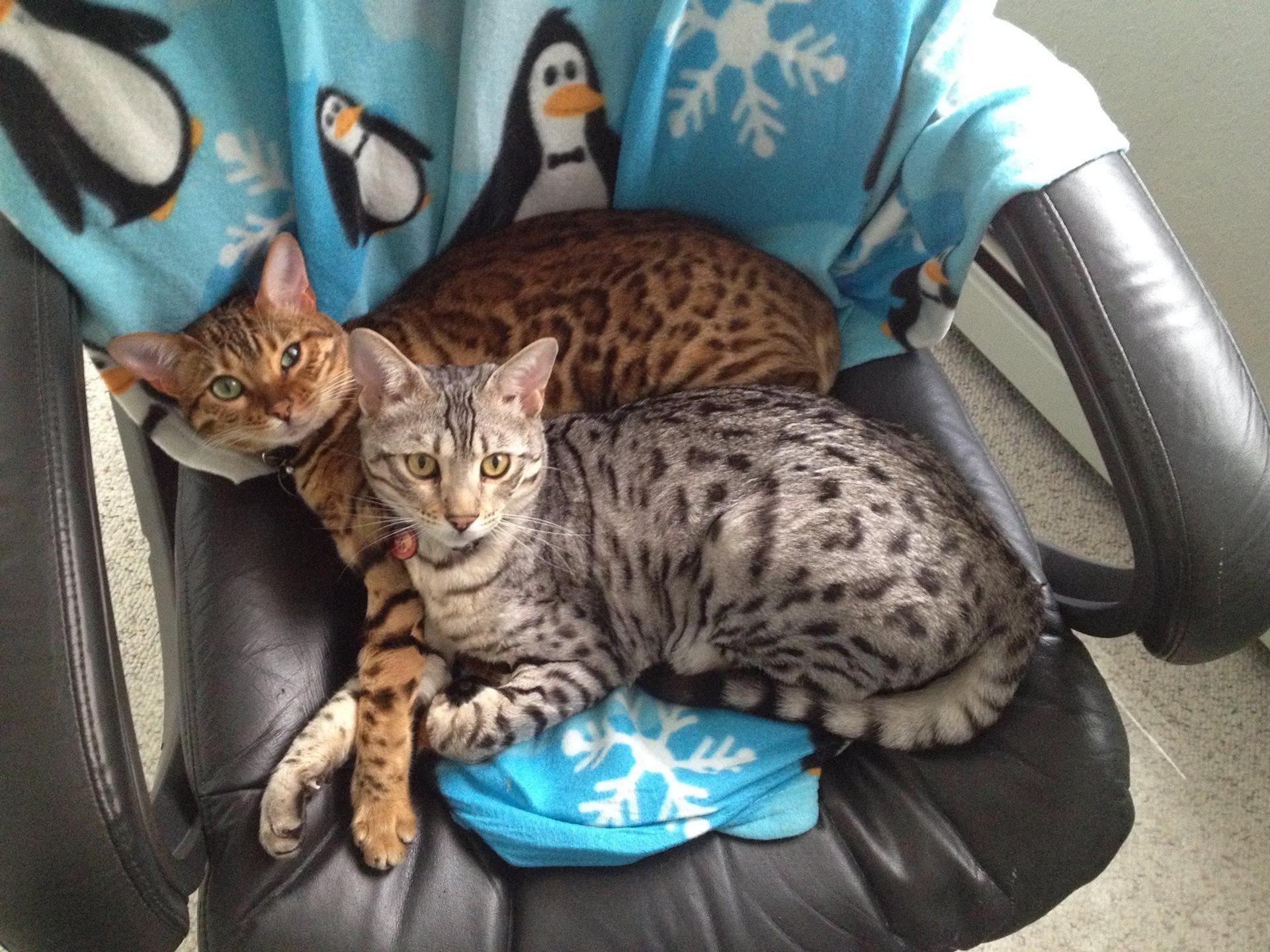 My 2 bengal kitties Kaylee (brown) and Hoban (silver).