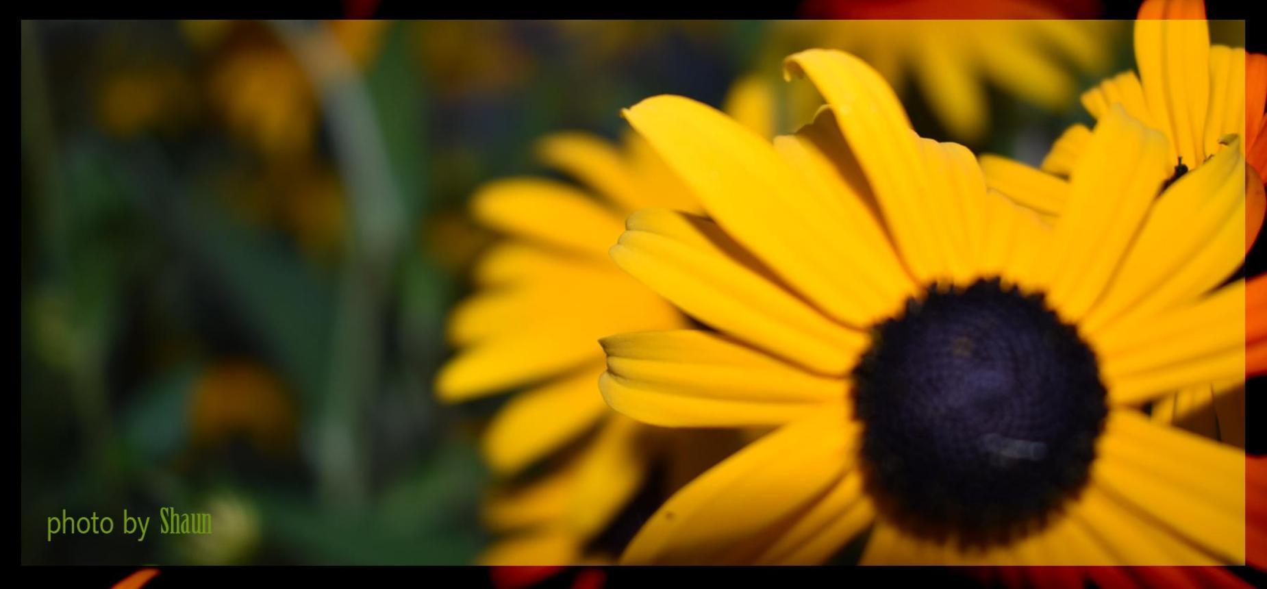 Close up photo of a black eyed susan flower