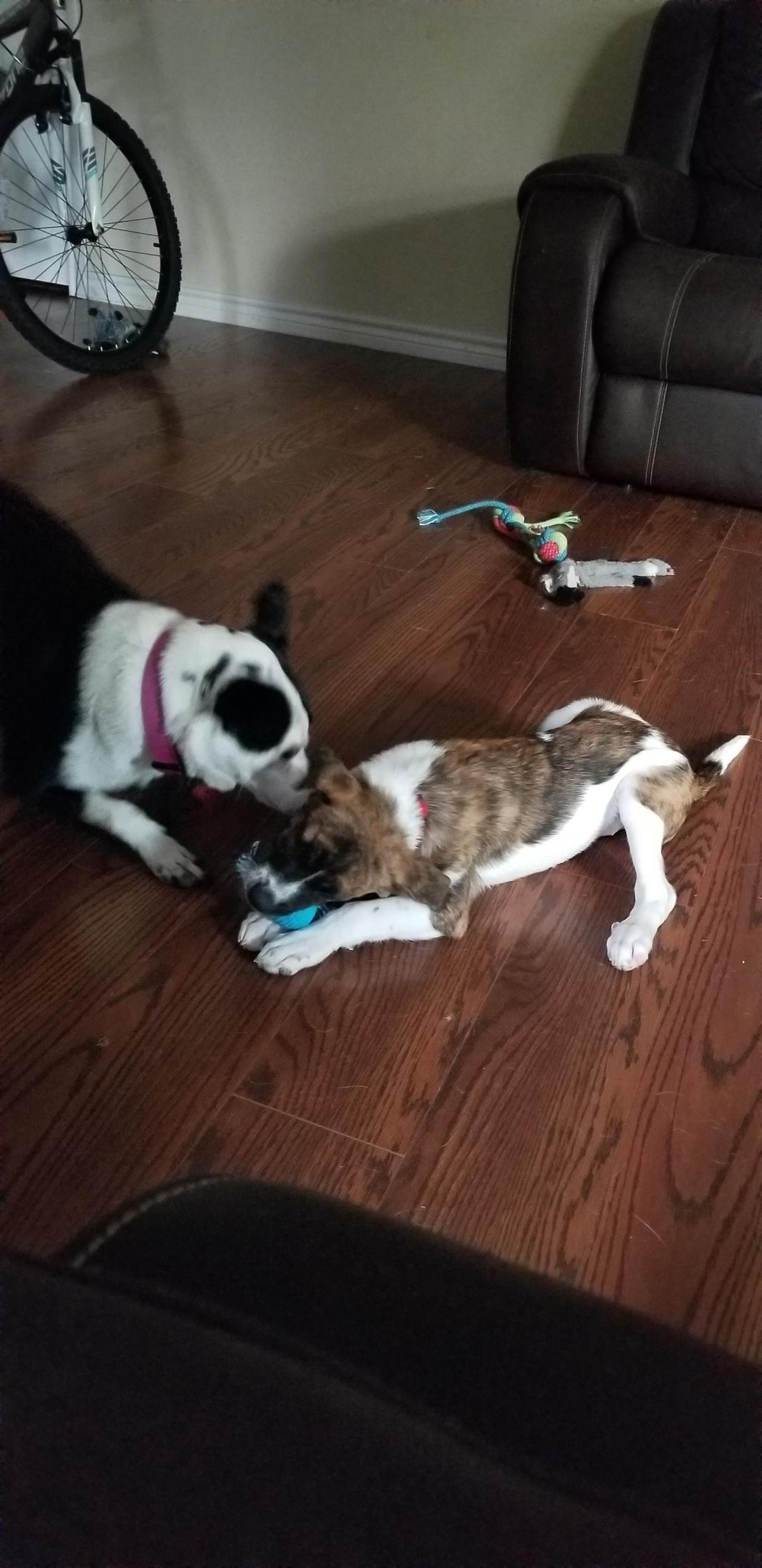 A black and white adult dog and a brown and white puppy playing together.