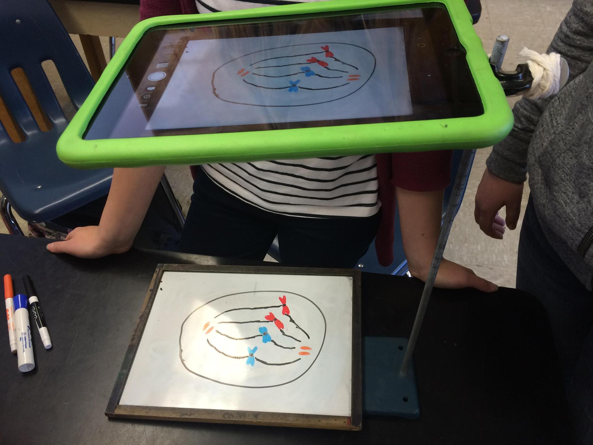 Making an animation of meiosis.