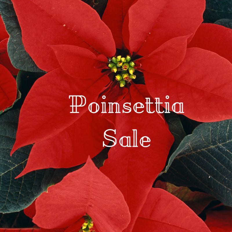 Poinsettia Sale Featured Photo
