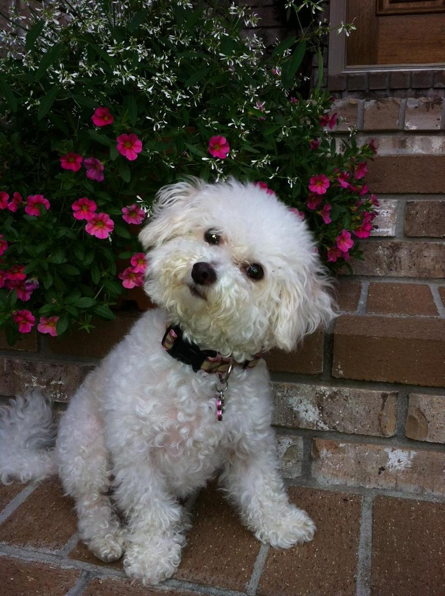 Dixie is our 12 year old maltese-poodle.