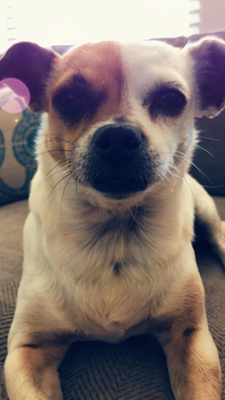 Our chihuahua pug mix dog Maggie