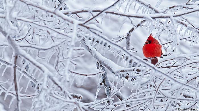 cardinal in ice covered tree