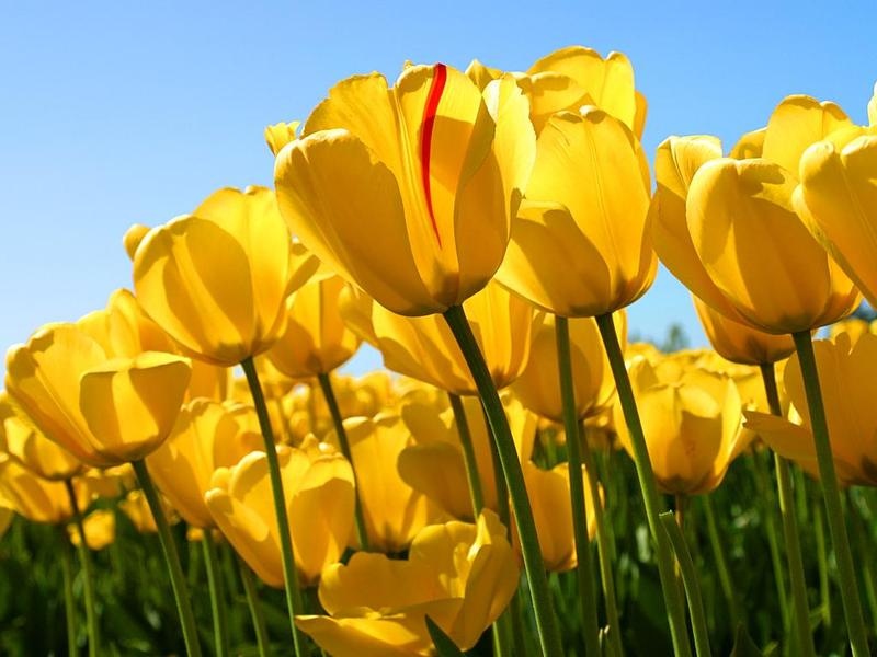 Picture of Tulips