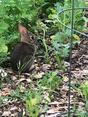 Bunny getting a snack from my garden