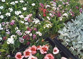 8th Grade Flower Sales! Thumbnail Image