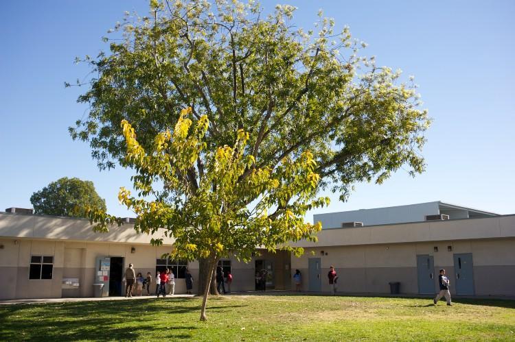 Beautiful green tree at Garfield School