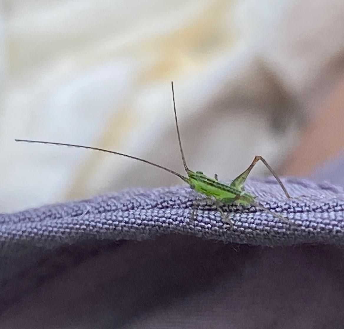 mini grasshopper