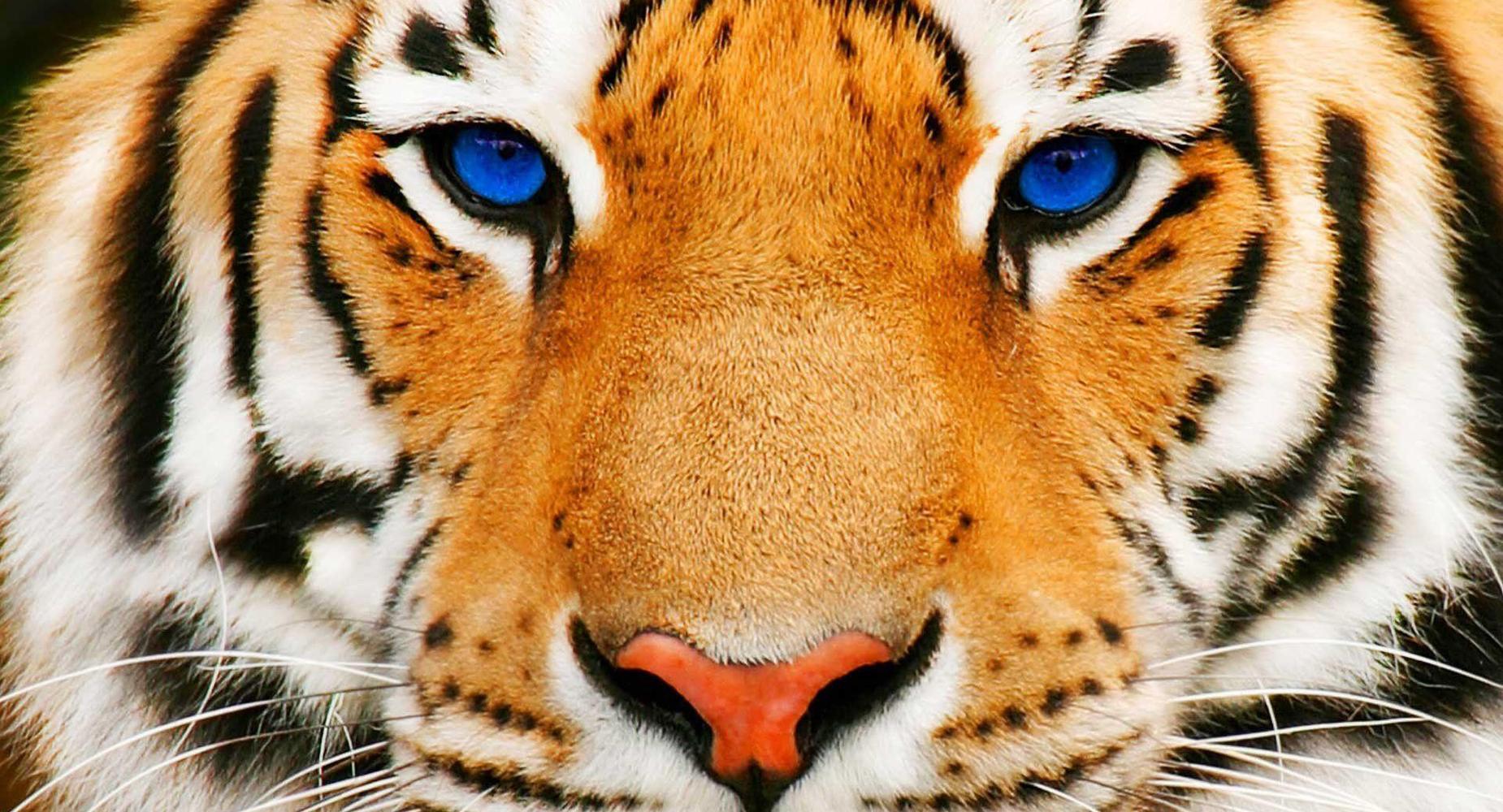 pve tiger