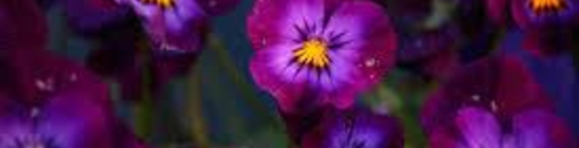 Spring Pansy