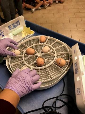 SJCS has incubating eggs in our hallway! Featured Photo