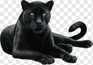 panther relaxing.png