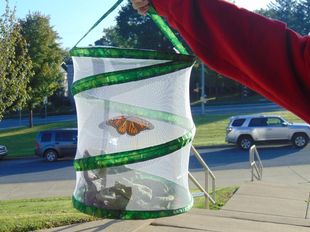 Image of monarch butterfly set for release