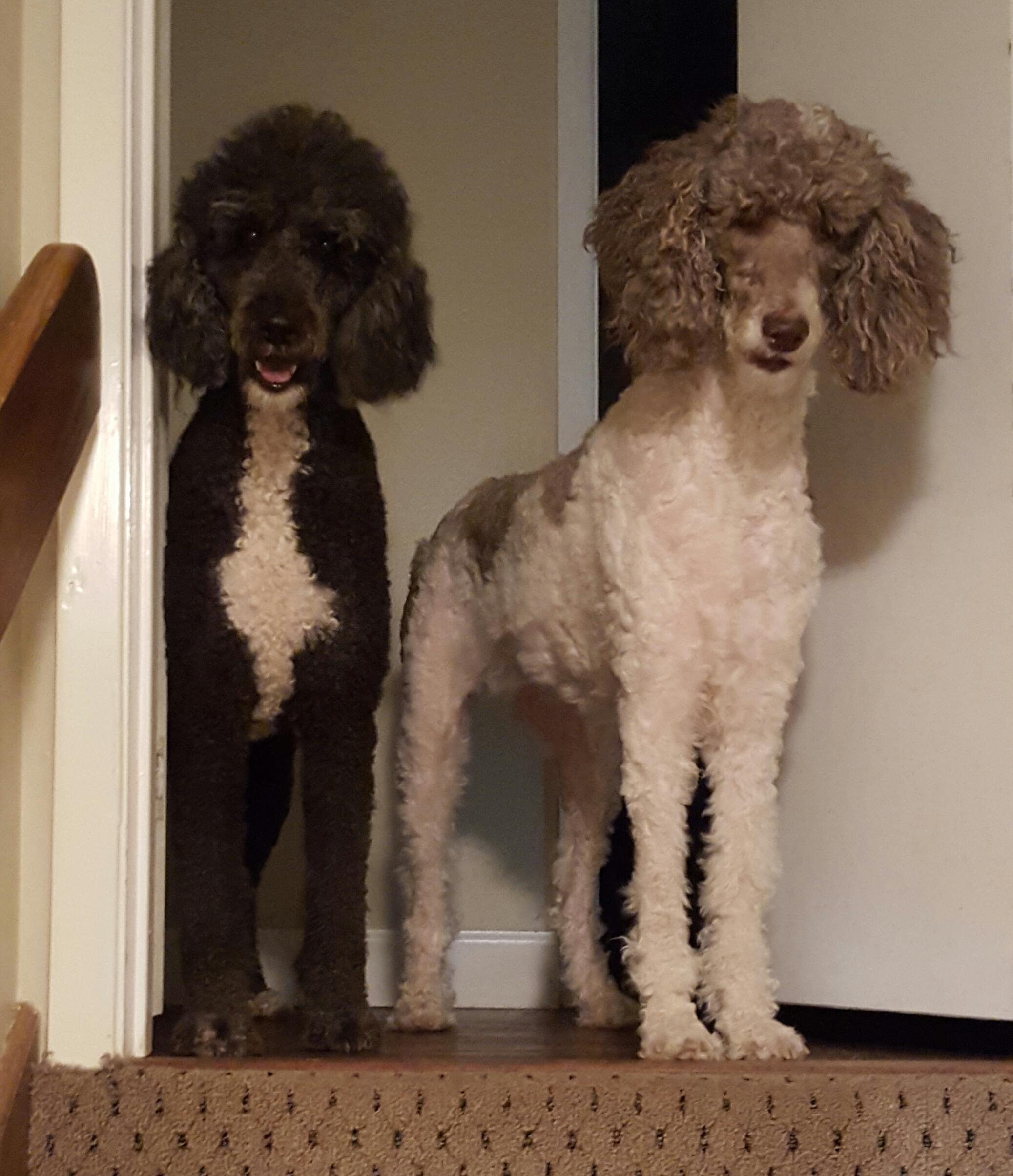 Victory the Poodle and Marley the Doodle