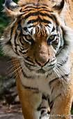 Prowling tiger.jpg