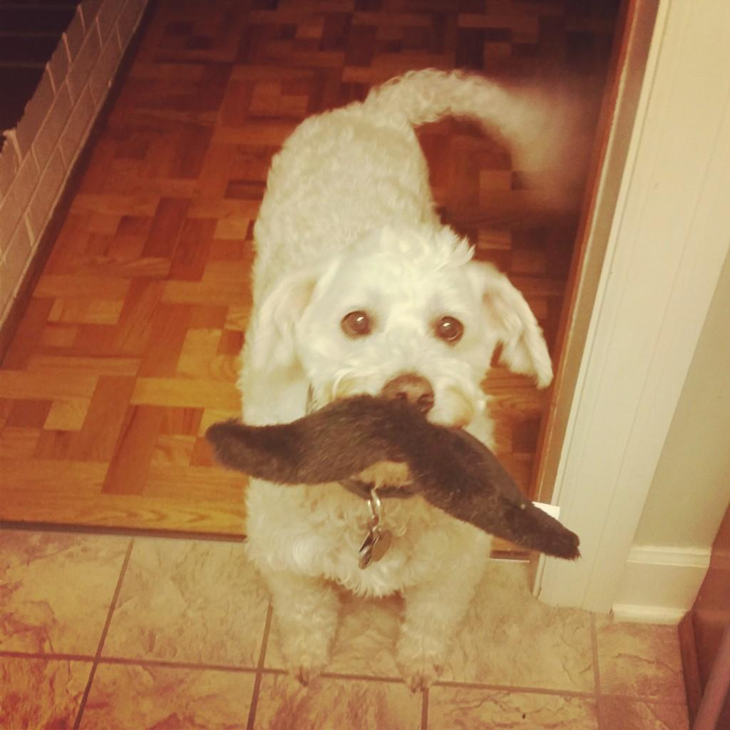 Ace the labradoodle with a toy in his mouth that looks like a mustache