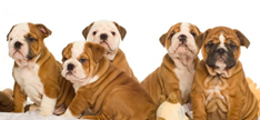 Group of bulldogs