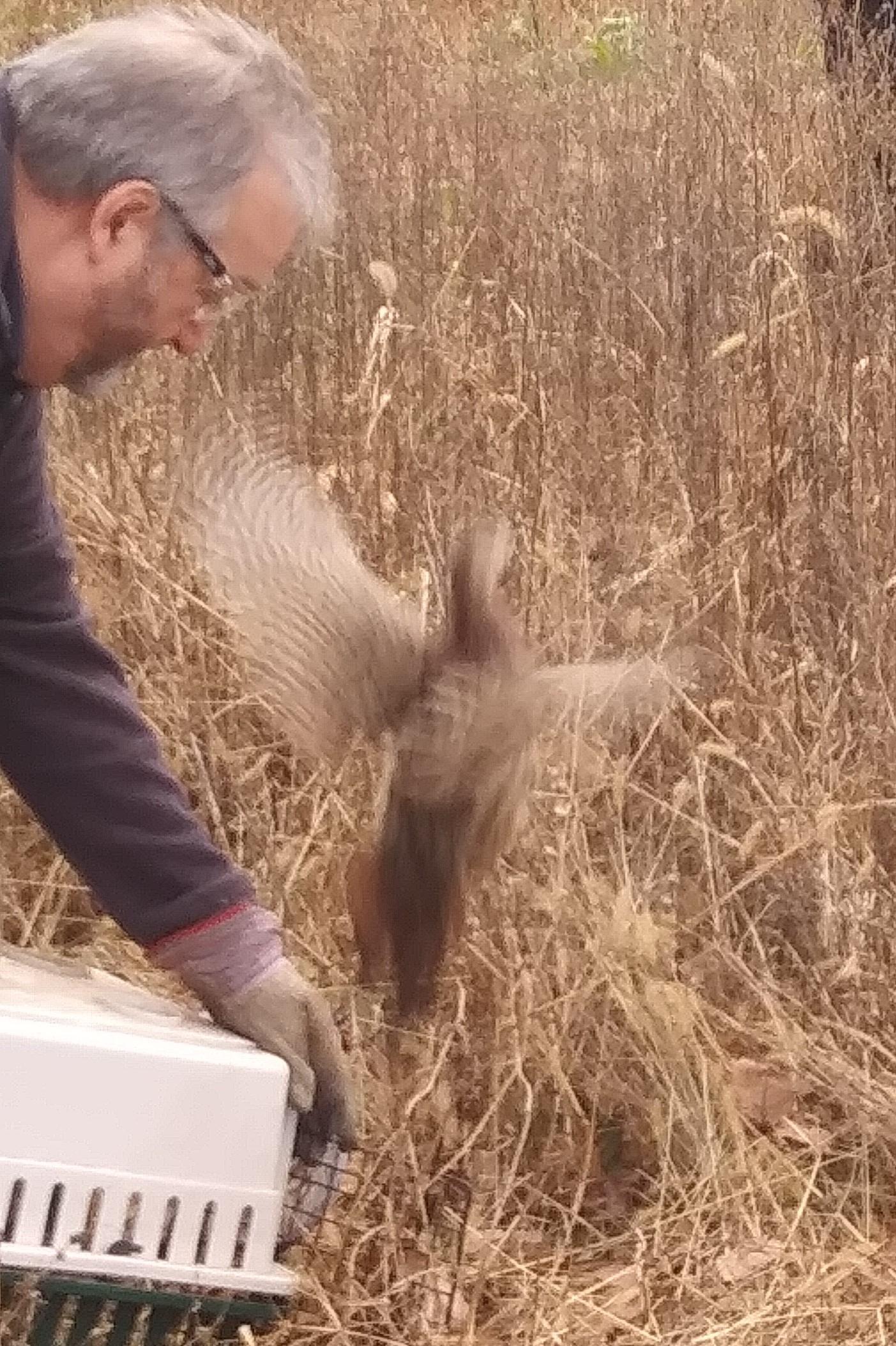 Pheasant release