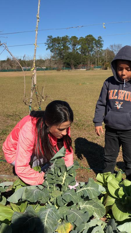 Students learn how to harvest Bok Choy.