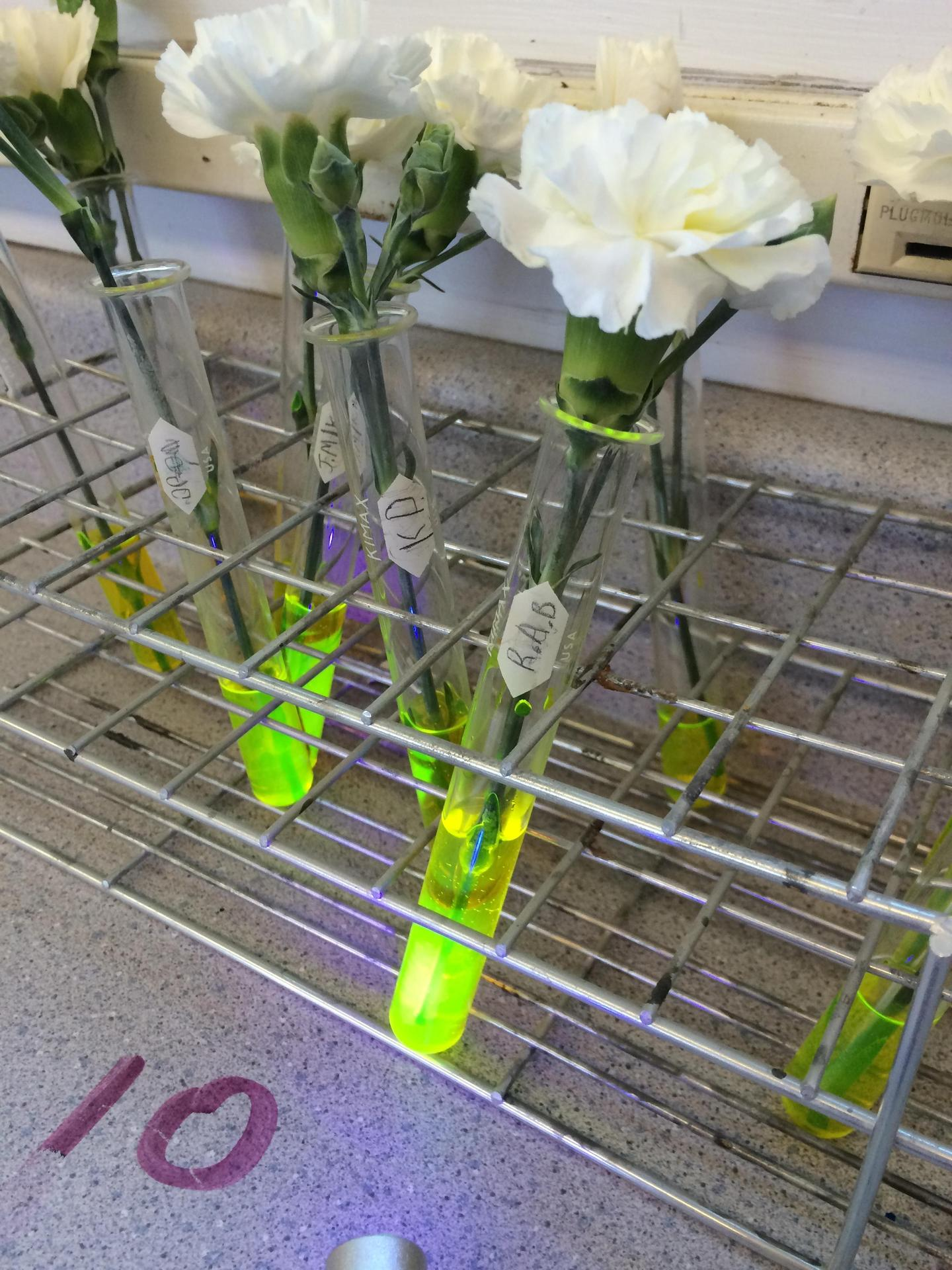 An experiment to show the vascular system of a plant using a fluorescing dye.