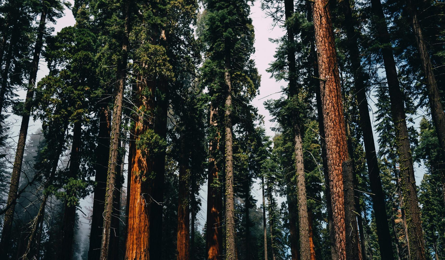 Picture of sequoia trees