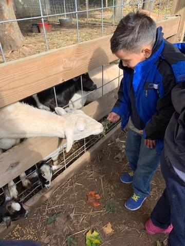 Little boy meets the goat