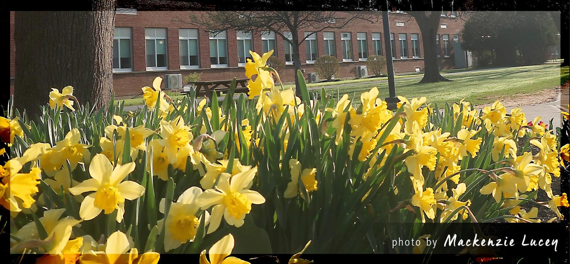 Daffodils in front of HCS