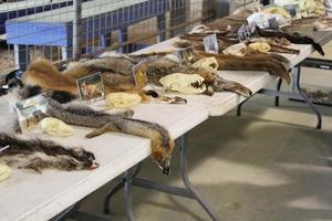 Animal pelt exhibit at