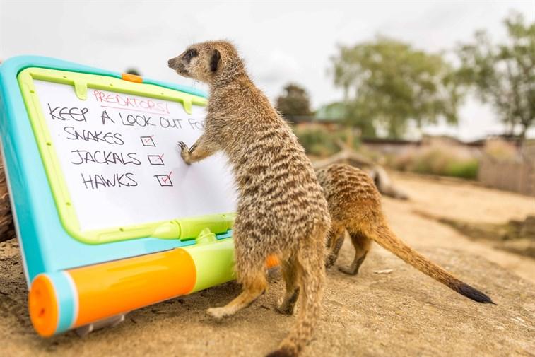 meerkats reading 1