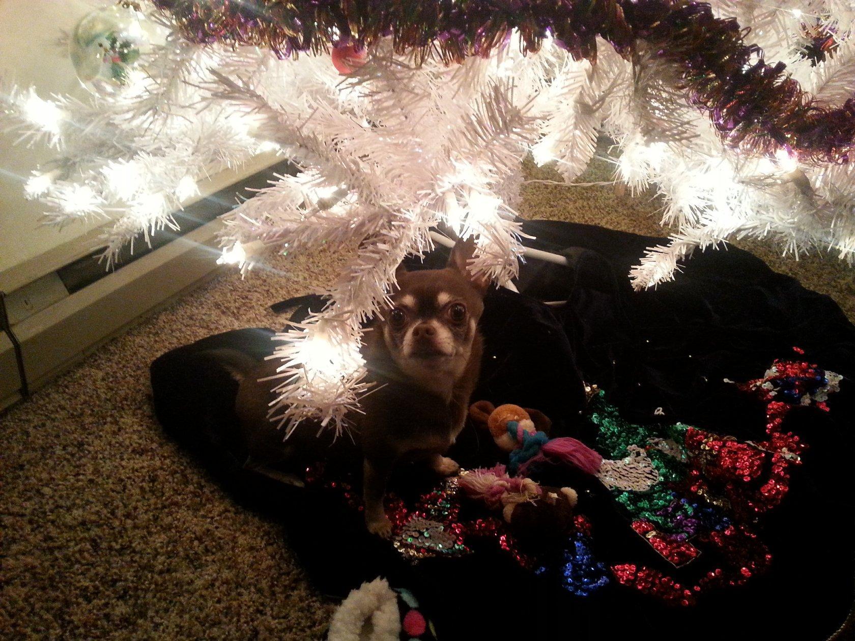 Chihuahua pic under Christmas tree