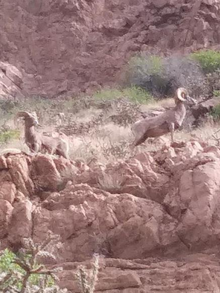 Two big horn sheep at Tunnel Drive.