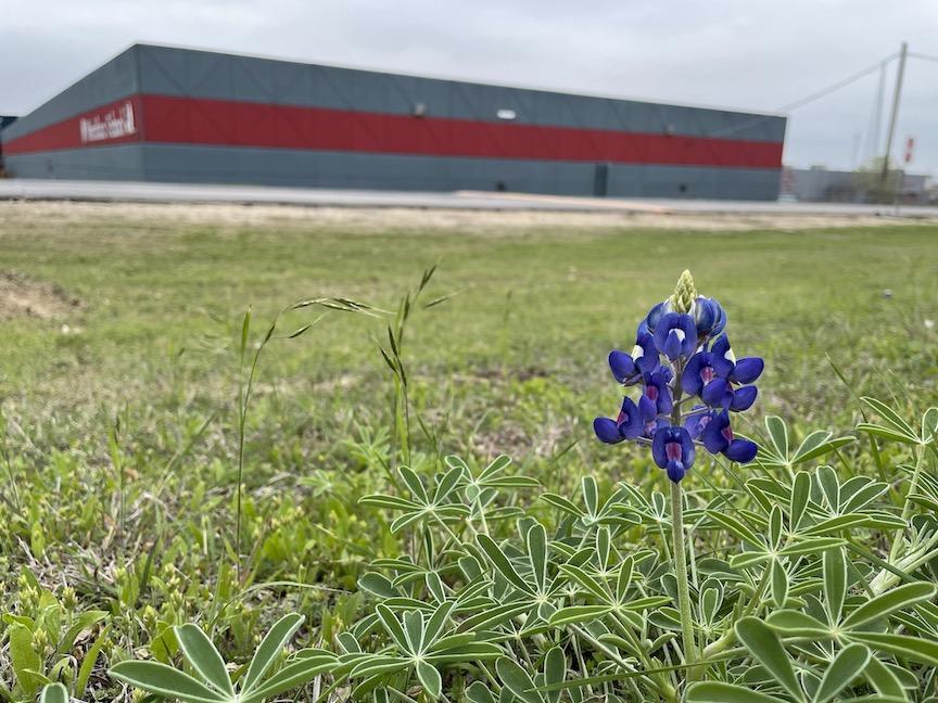 Bluebonnet blooming in front of school