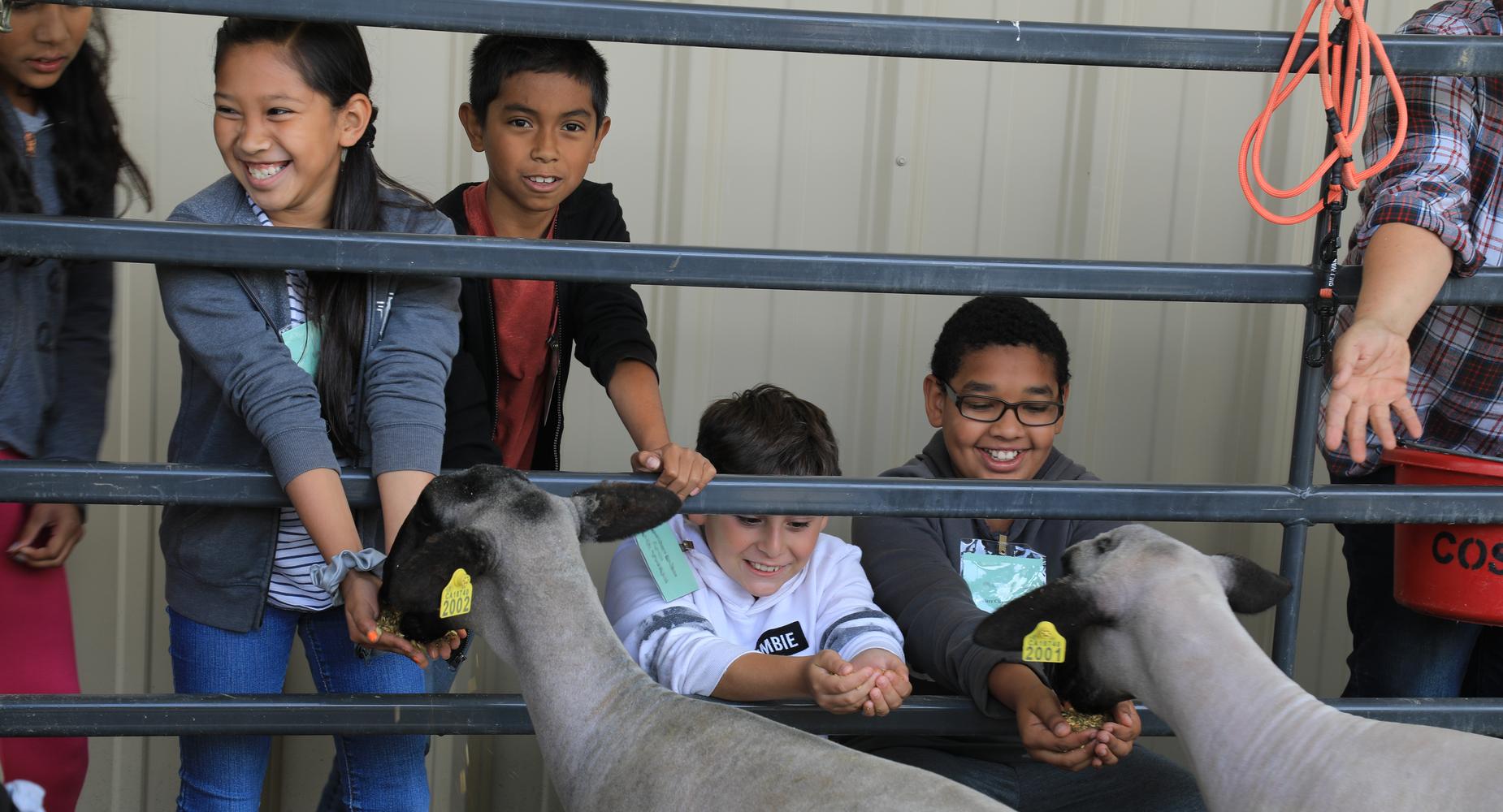 Children feeding sheep