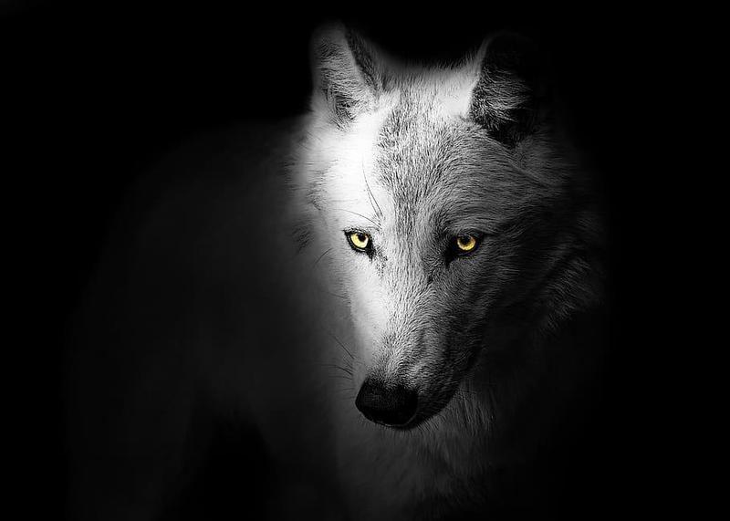 Sad white wolf face on black background