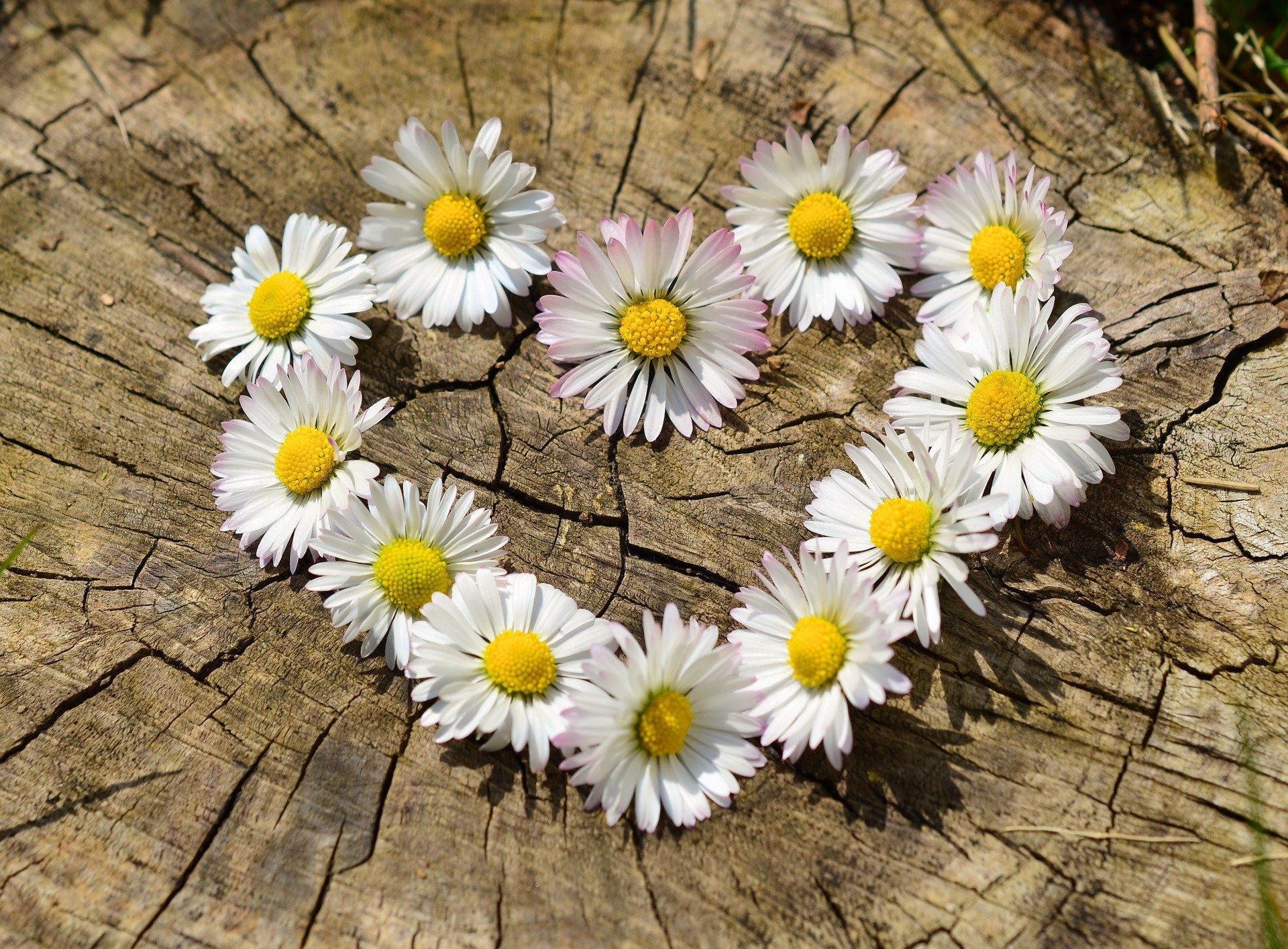 Daisy Heart from Pixabay