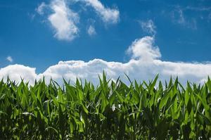 corn-field-440338_1280.jpg