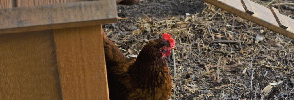a hen coming out of the chicken coop