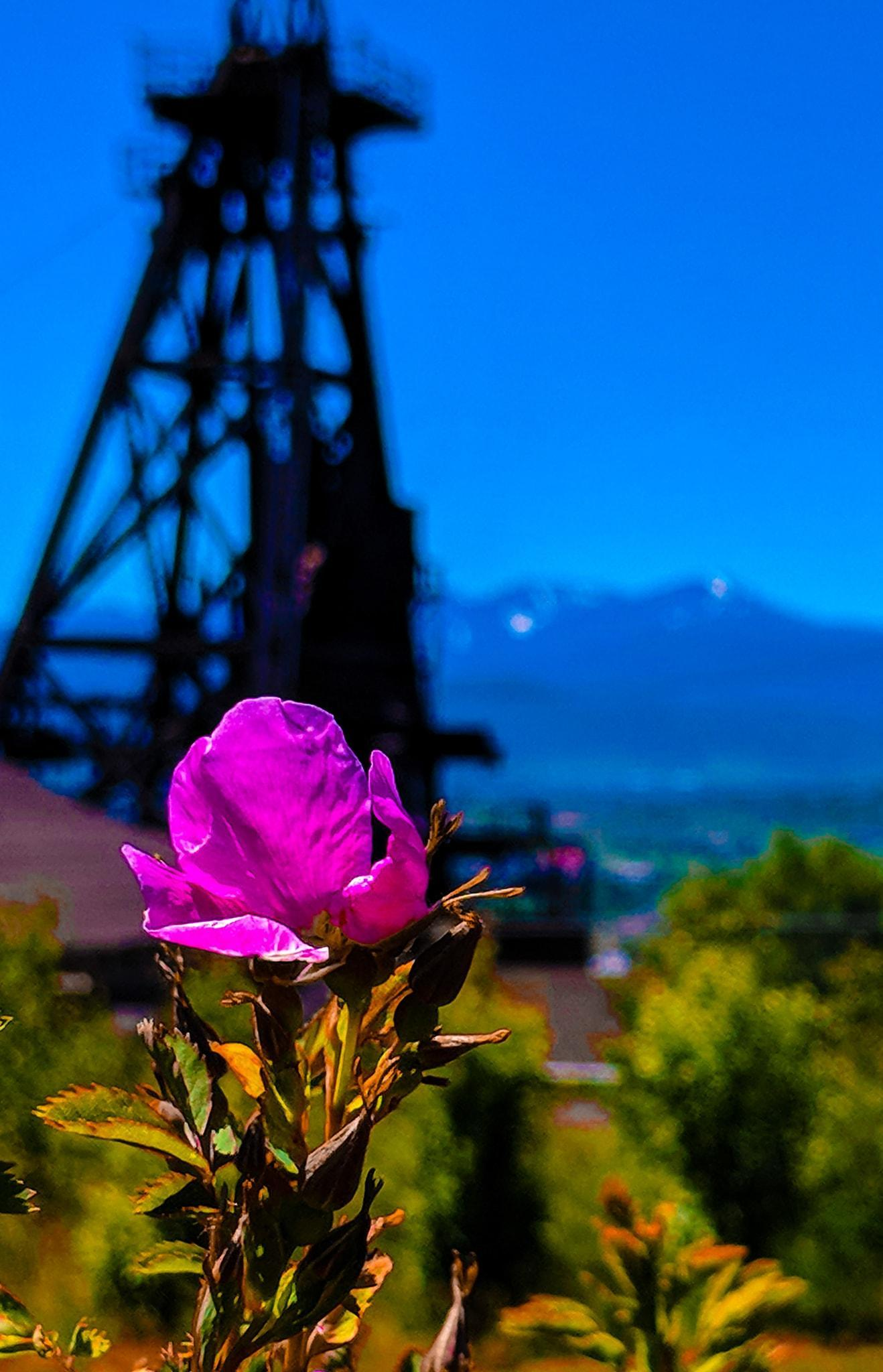 Rose in Butte
