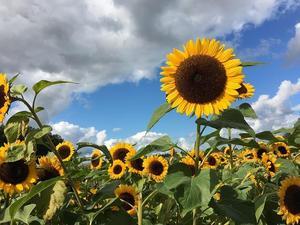 sunflower-961739_640.jpg