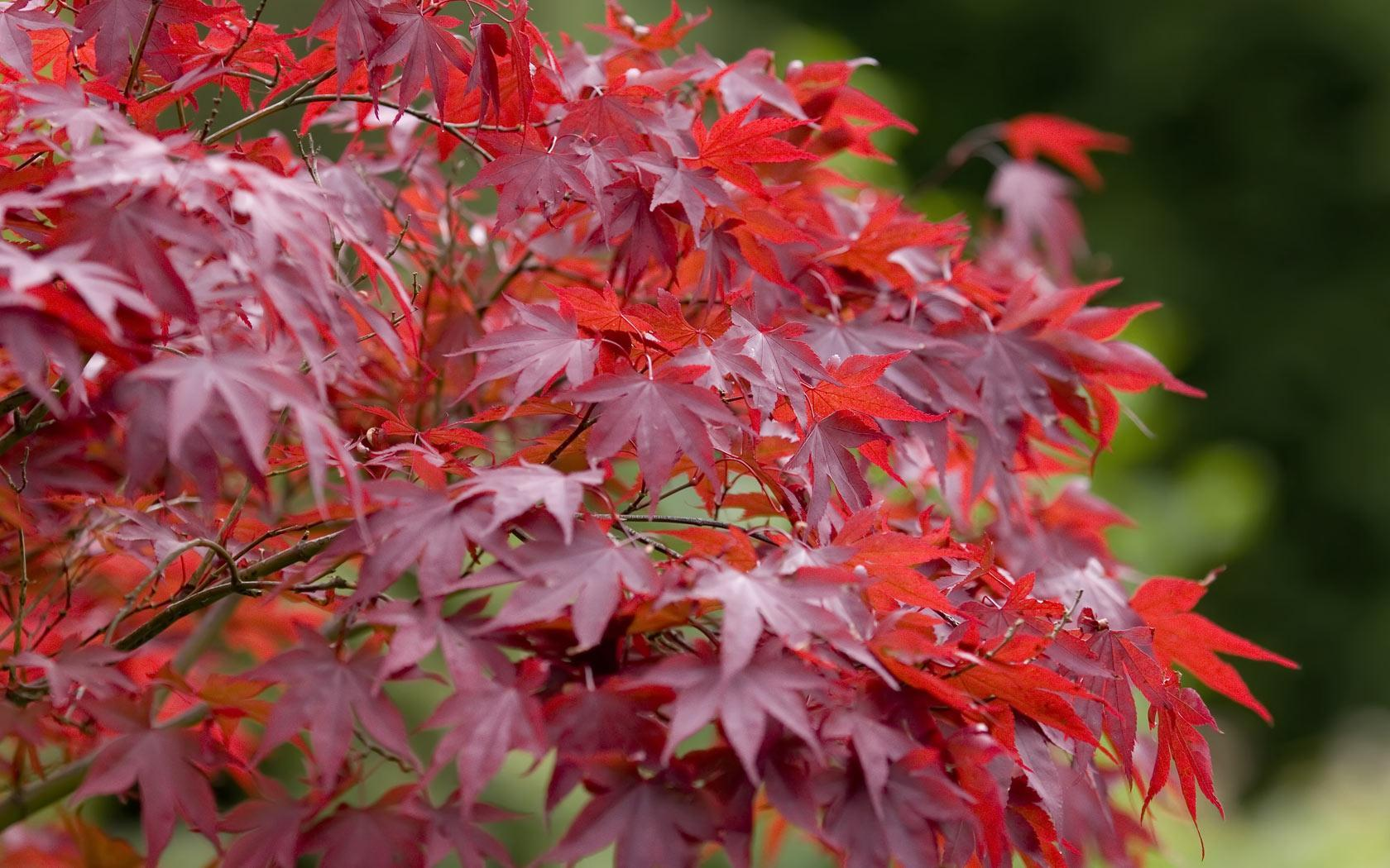 Maple Red