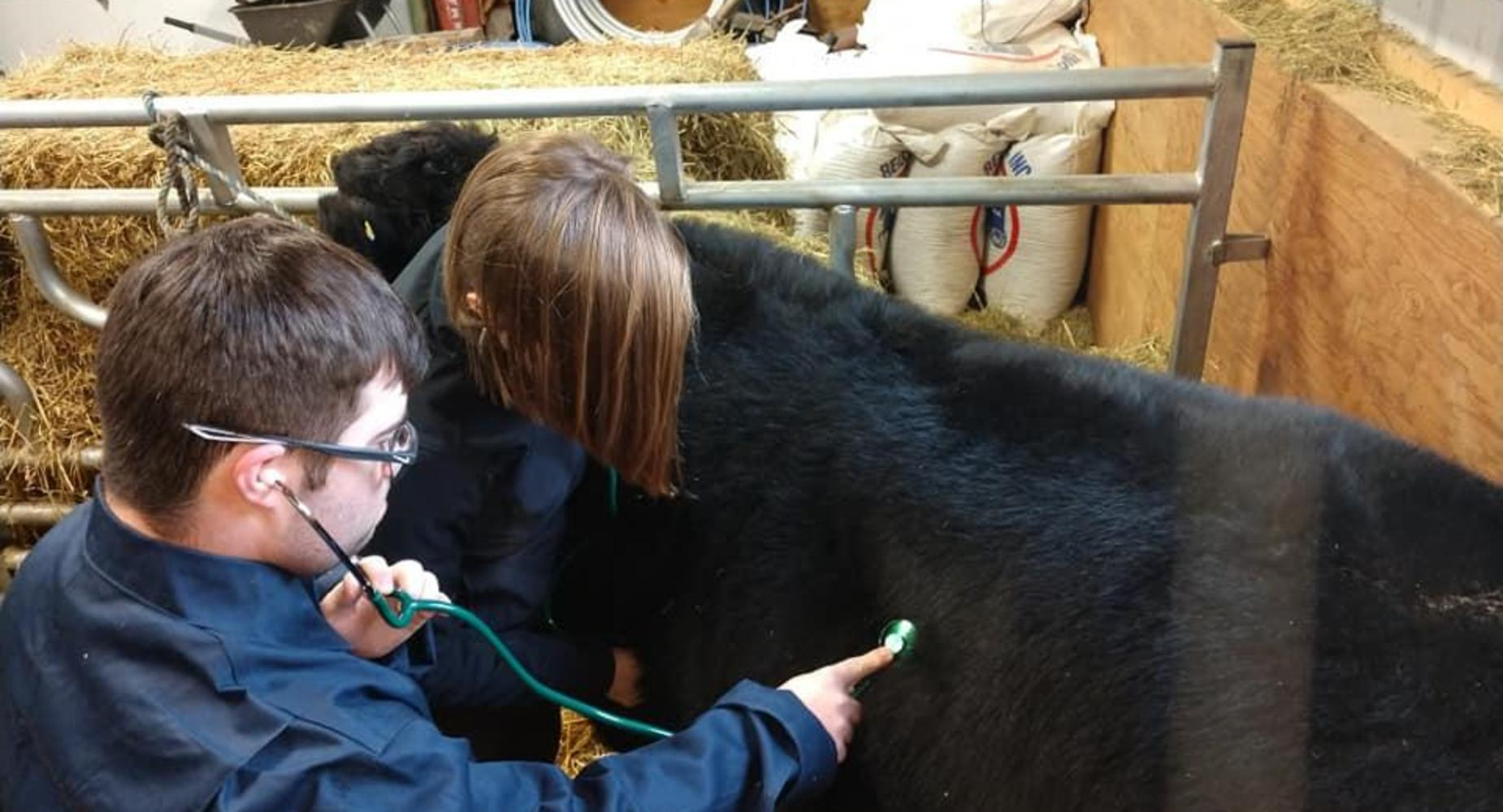 Students checking the vitals of a cow